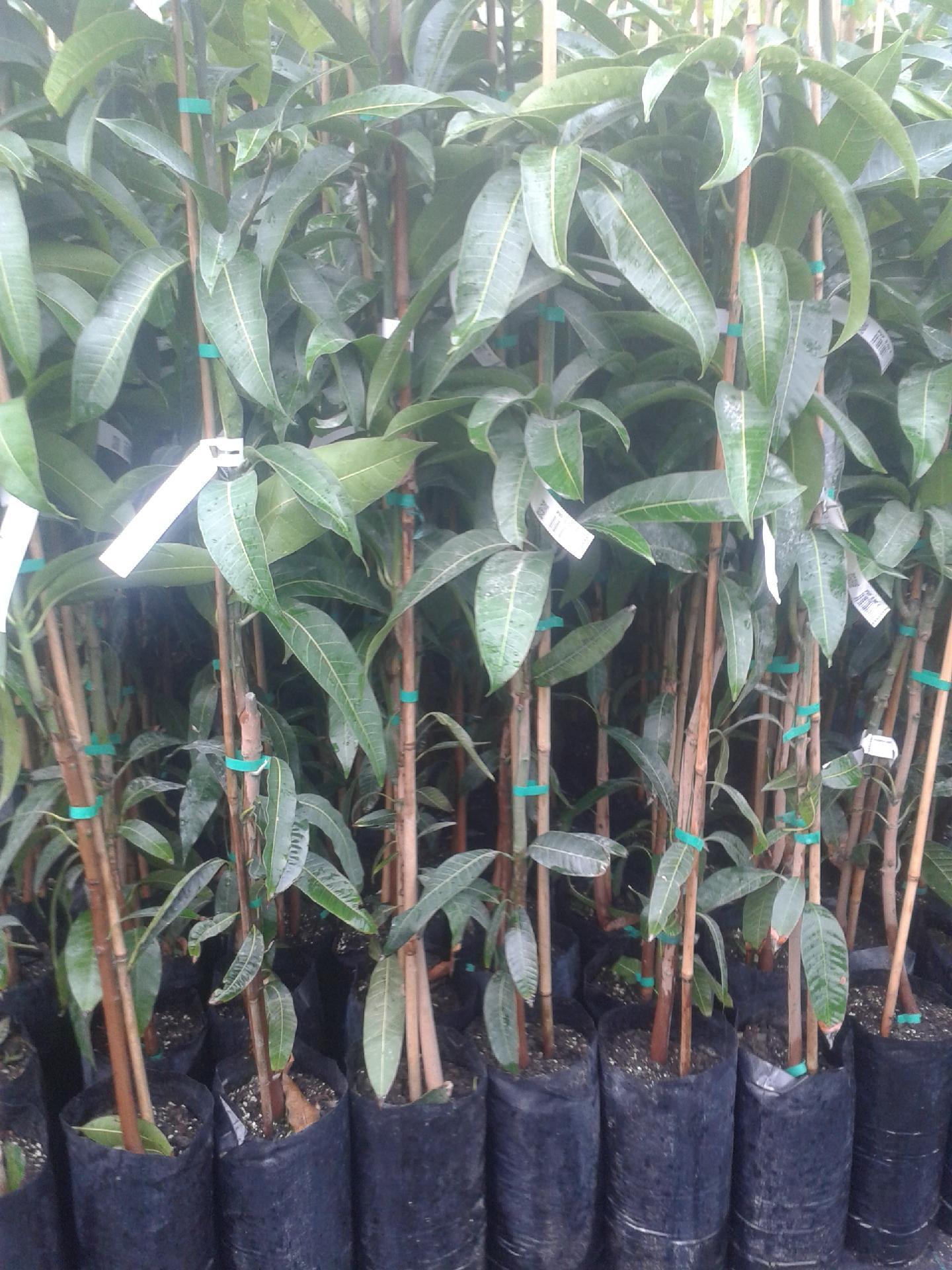 Mango piante in vaso mango innestato mango innestato for Piante vendita