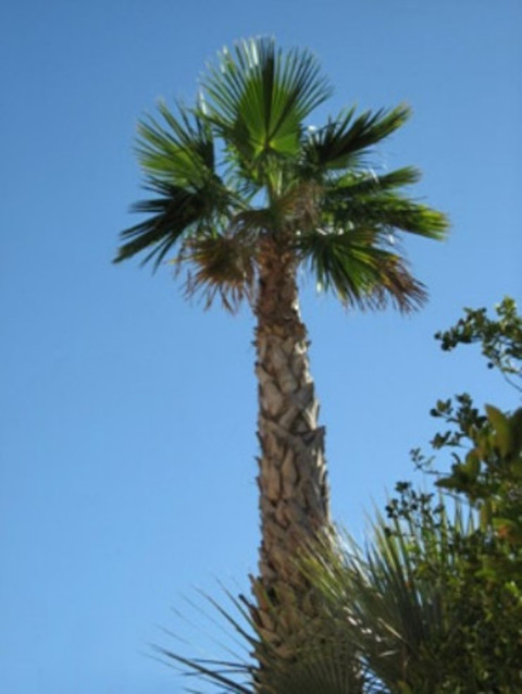 Palma Washingtonia Robusta