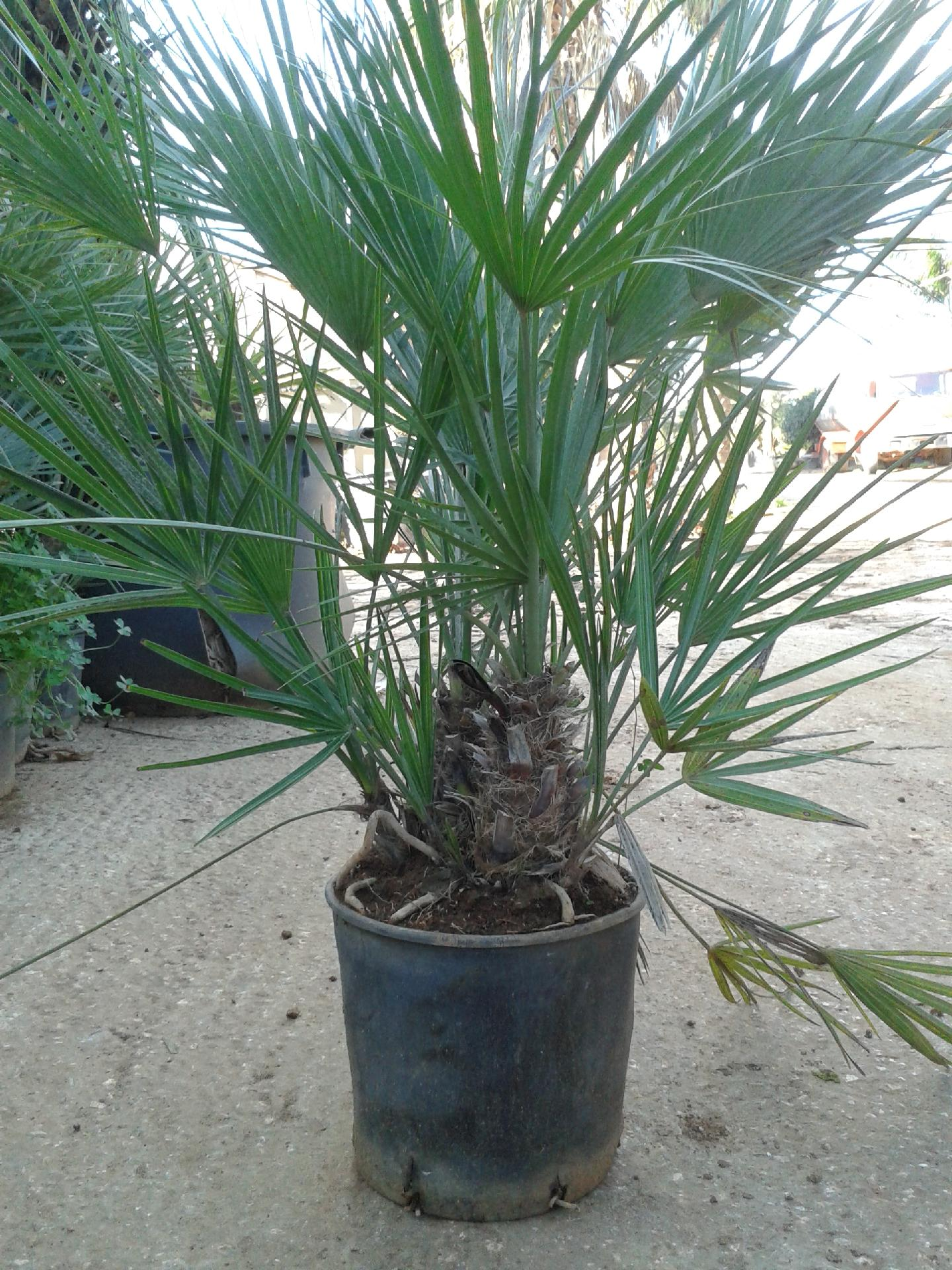 Chamaerops humilis o palma nana giummara prodotto in for Palma di san pietro