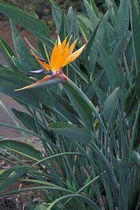 Strelitzia Reginae o Uccello del paradiso, prodotto in vivaio a Marsala (TP)