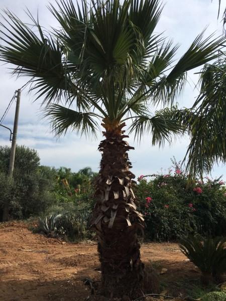Palma Washingtonia filifera, produzione in vivaio a Marsala (TP)