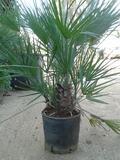 Chamaerops humilis o Palma Nana Giummara, prodotto in Vivaio a Marsala (TP)