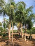 Cocos plumosa o Arecastrum romanzoffianum, produzione in vivaio a Marsala (Trapani)
