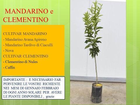 MANDARINO e CLEMENTINO