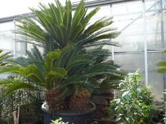 Cycas vivai Cuciti Massimo Cycas coltivati in vaso di diversi diametri fino ad arrivare a piante esemplari.