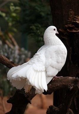 volo delle colombe