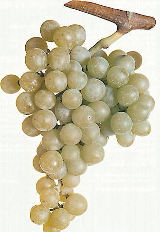 Uva da tavola uva da tavola prodotti mazzarrone - Uva da tavola di mazzarrone ...