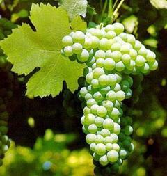 Uva bianca di Mazzarrone