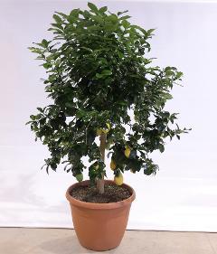 vaso Ø 54 cm.  alberello