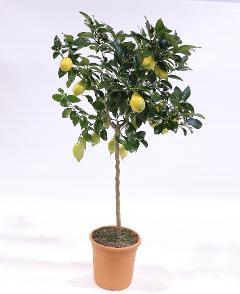 Limone  alberello vaso Ø 24 cm.