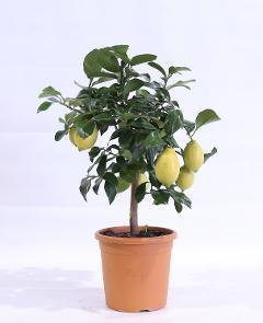 Limone  mini alberello vaso Ø 18 cm.