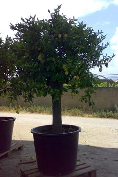 Limone esemplare  albero in mastello