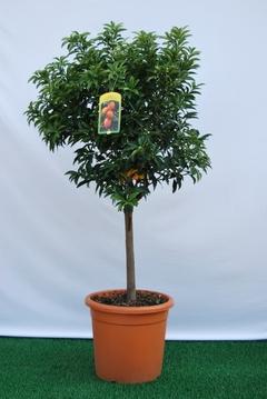 Kumquat  alberello vaso Ø 36 cm.