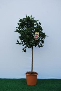 Clementino  alberello vaso Ø 24 cm.