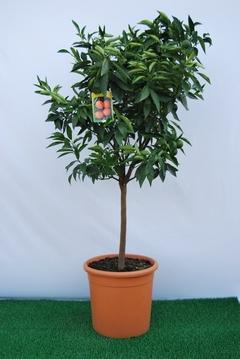 Clementino  alberello vaso Ø 36 cm.