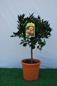 Mandarino  mini alberello vaso Ø 20 cm.