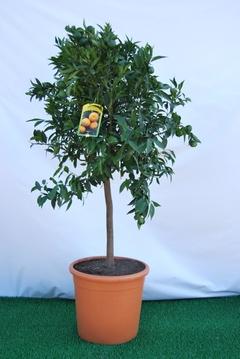 Mandarino  alberello vaso Ø 36 cm.