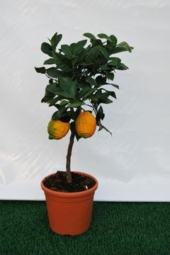 Limone Rosso  mini alberello vaso Ø 20 cm.