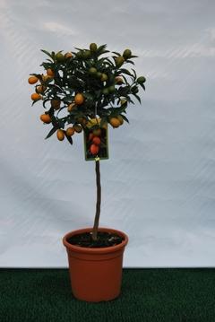 Kumquat  alberello vaso Ø 24 cm.