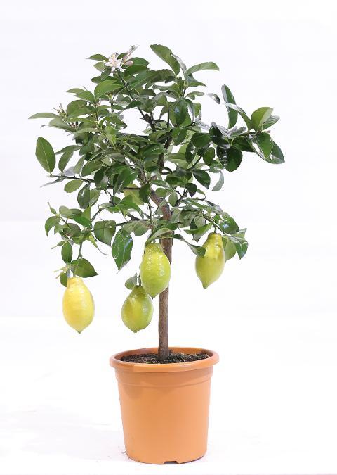 Limone  mini alberello vaso Ø 20 cm.