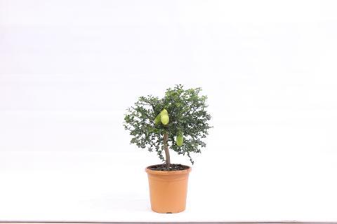 Finger Lime  mini alberello vaso Ø 20 cm.