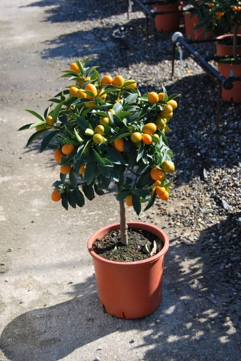 Kumquat  mini alberello vaso Ø 20 cm.