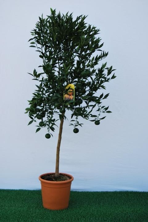 Mandarino  alberello vaso Ø 24 cm.