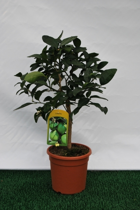 "Limetta ""Lime""  mini alberello vaso Ø 20 cm."