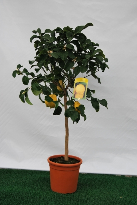 Cedro  alberello vaso Ø 24 cm.