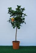 Arancio  alberello vaso Ø 24 cm.