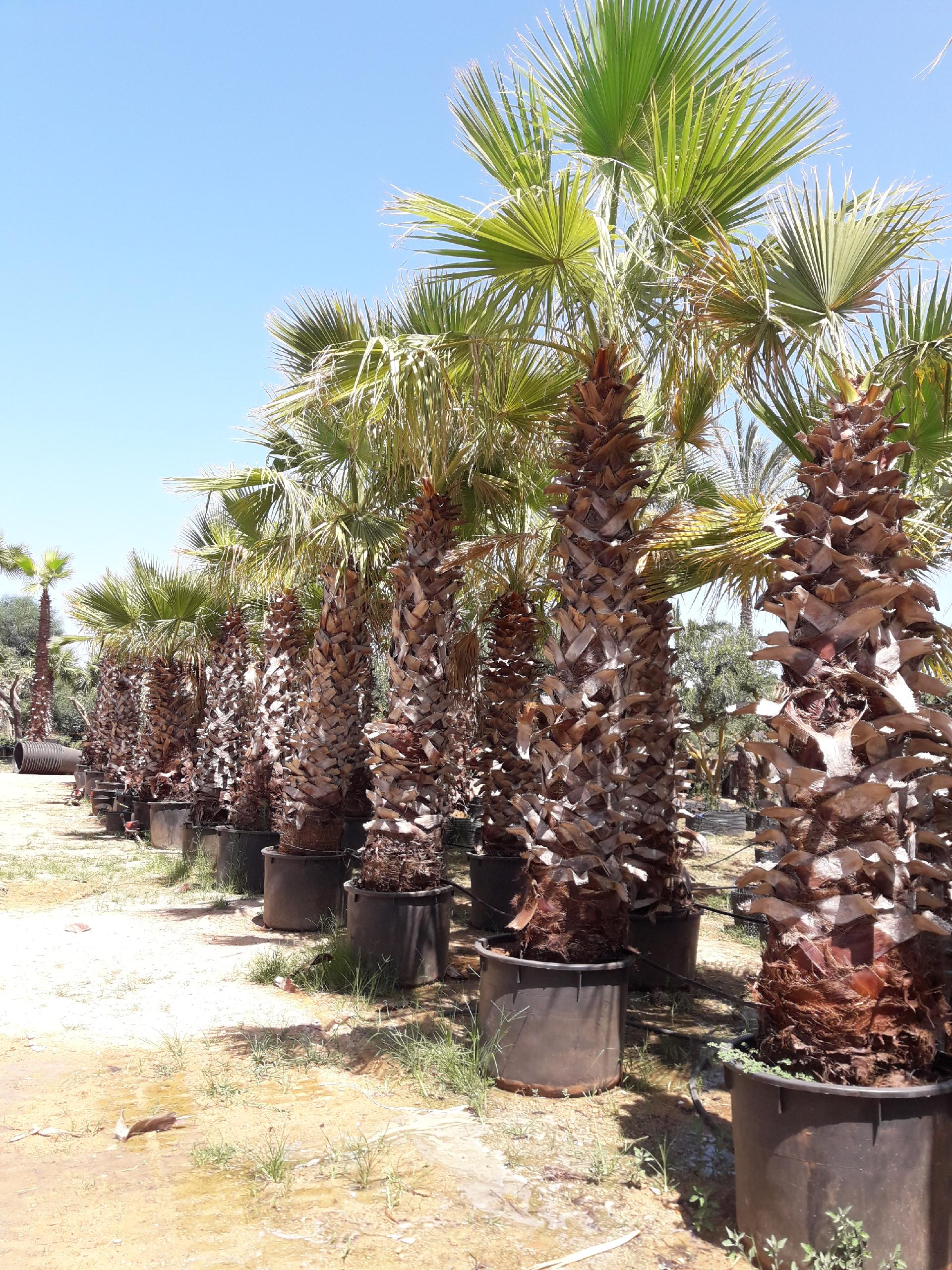 Washingtonia Robusta in vaso 240 lt OFFERTA € 170.00