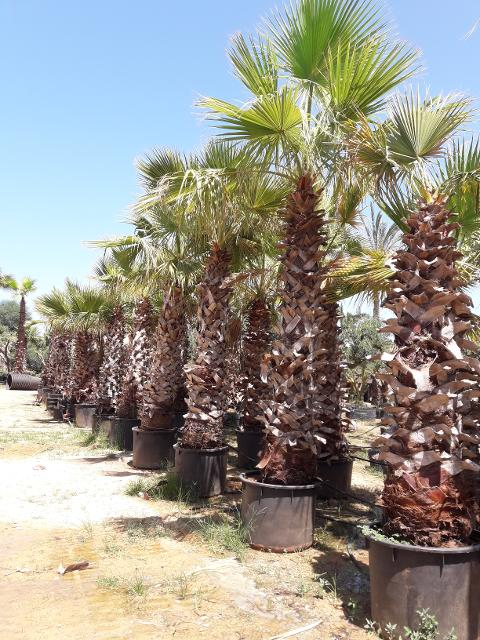 Washingtonia Robusta in vaso 200 l
