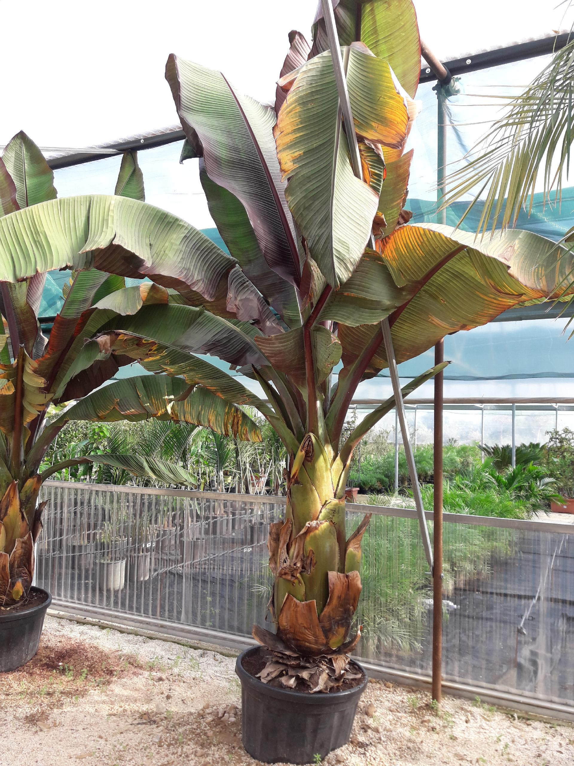 Pianta Di Banana Foto musa esente murelli pianta ornamentale musa esente murelli