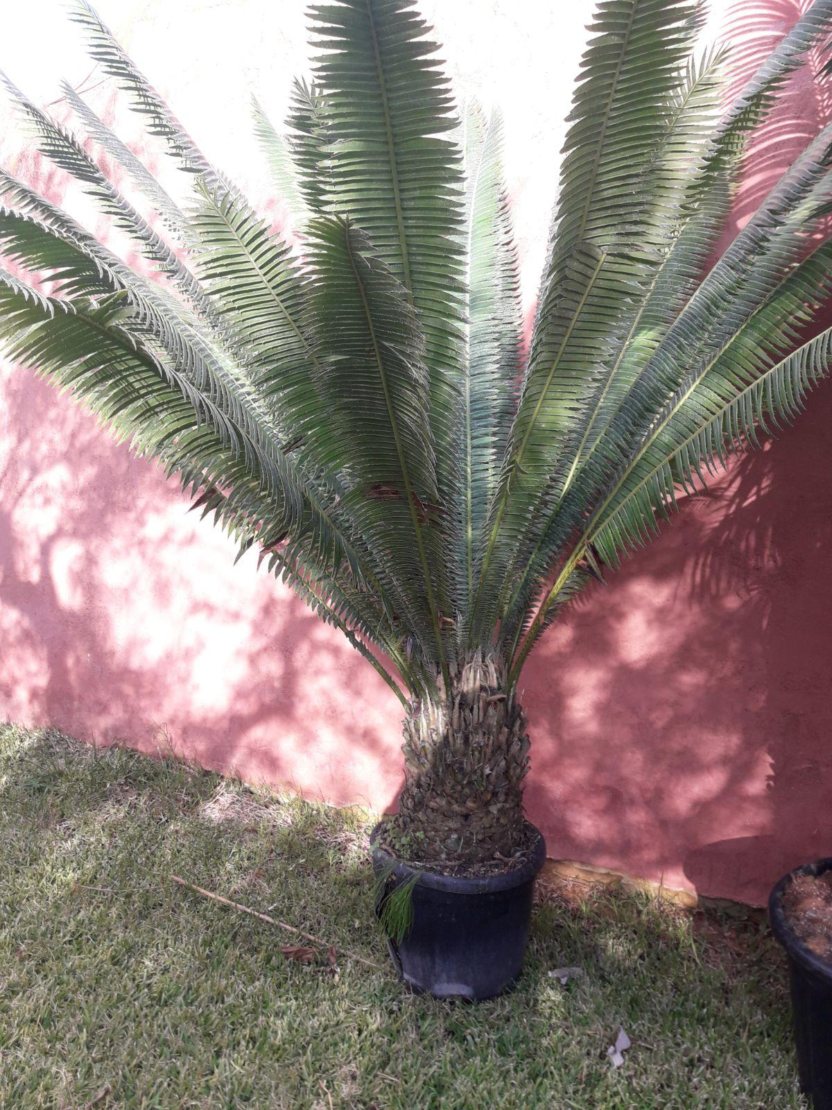 CYCAS DIOON EDULE IN VASO 35