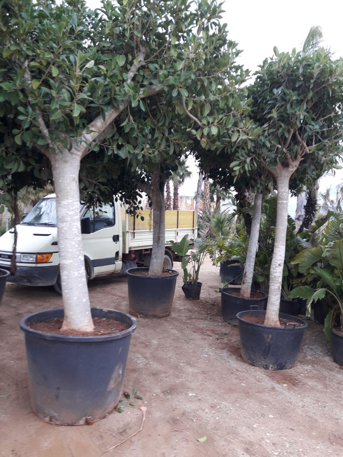 Cura Del Ficus Benjamin ficus bengiamin - balestrate (palermo)