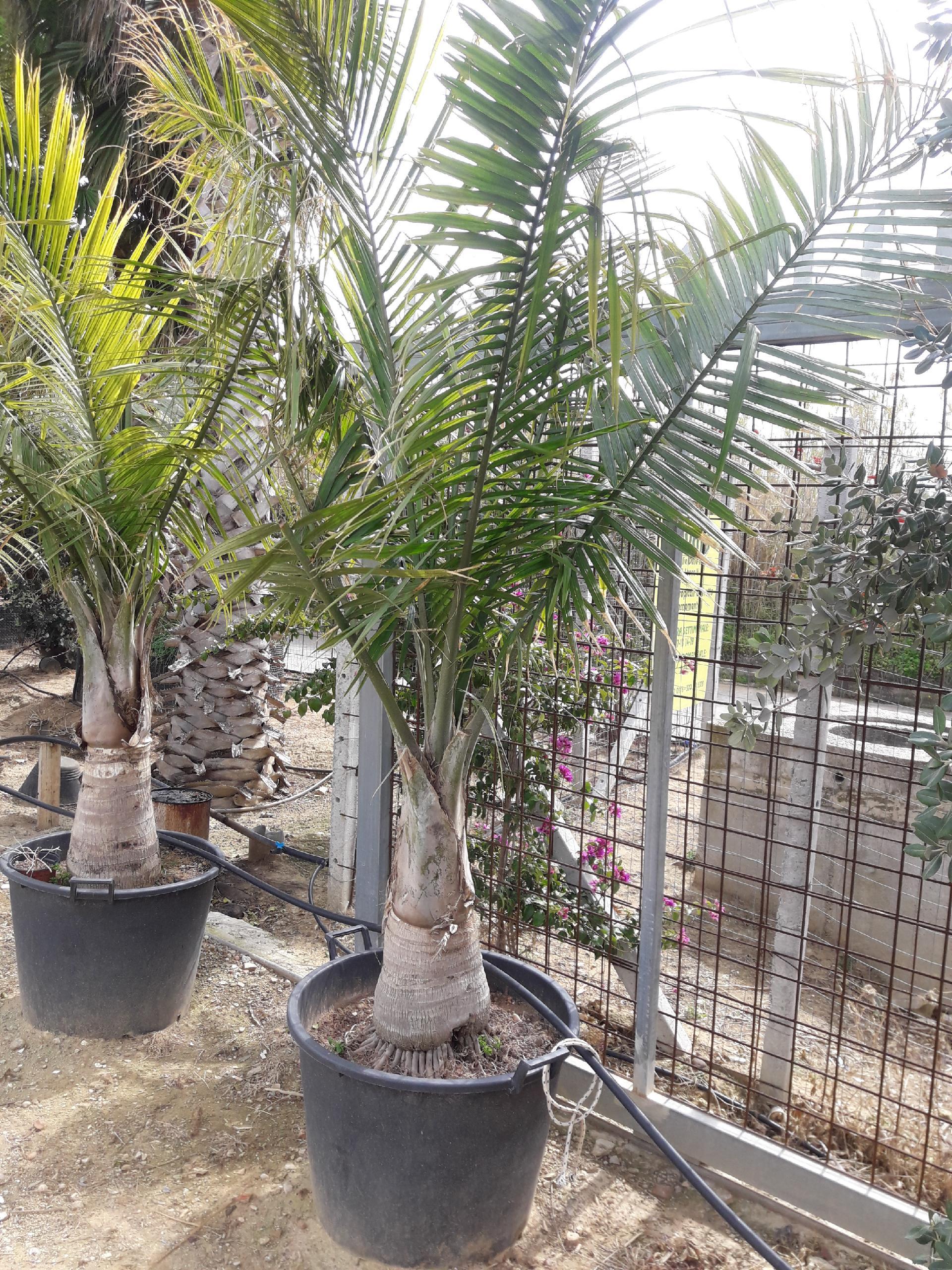 Palme Da Vaso Per Esterno palma ravanea in vaso 70 lt offerta € 250.00 - balestrate