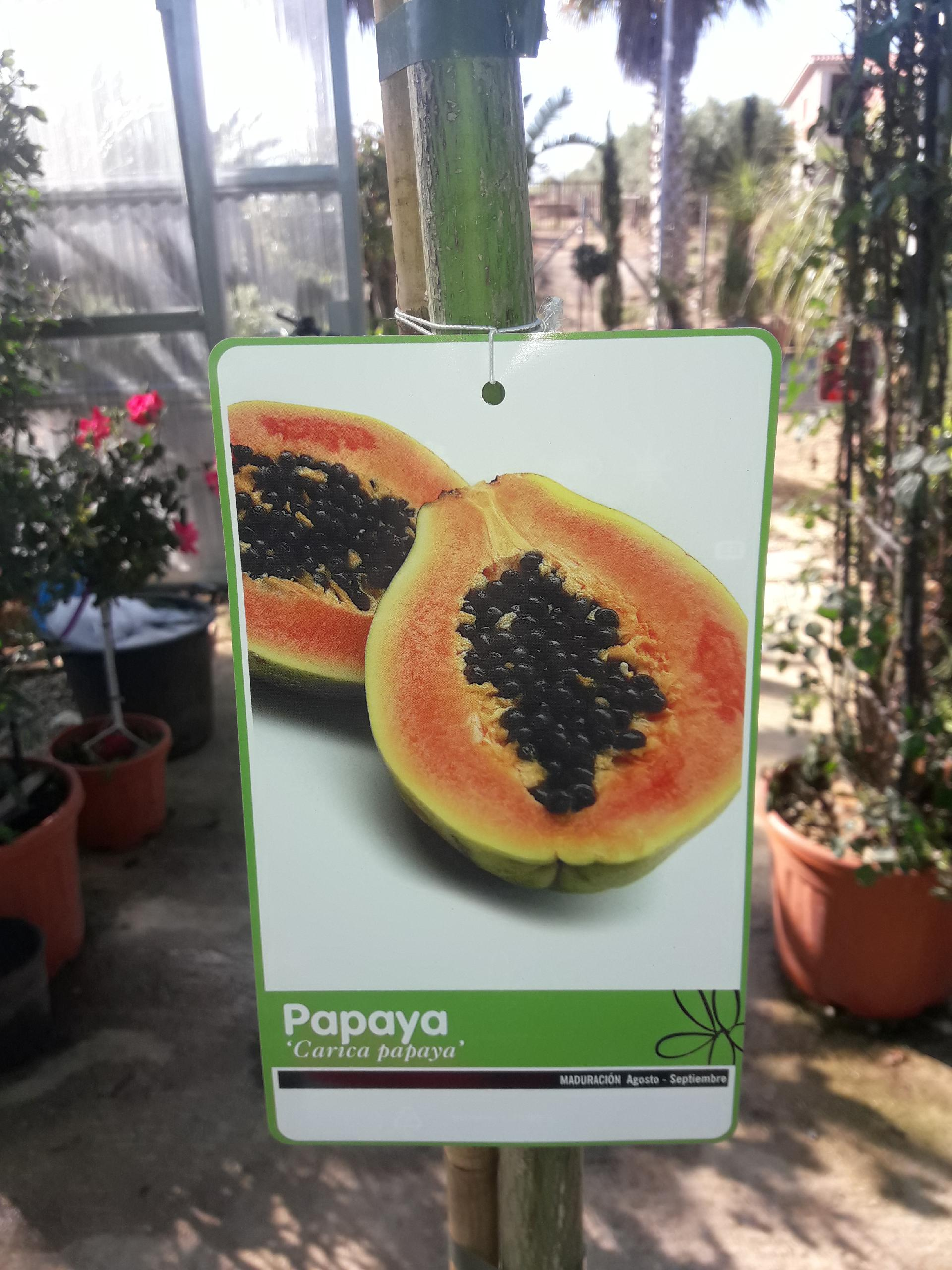 Papaya in Vaso  Diverse Dimensioni
