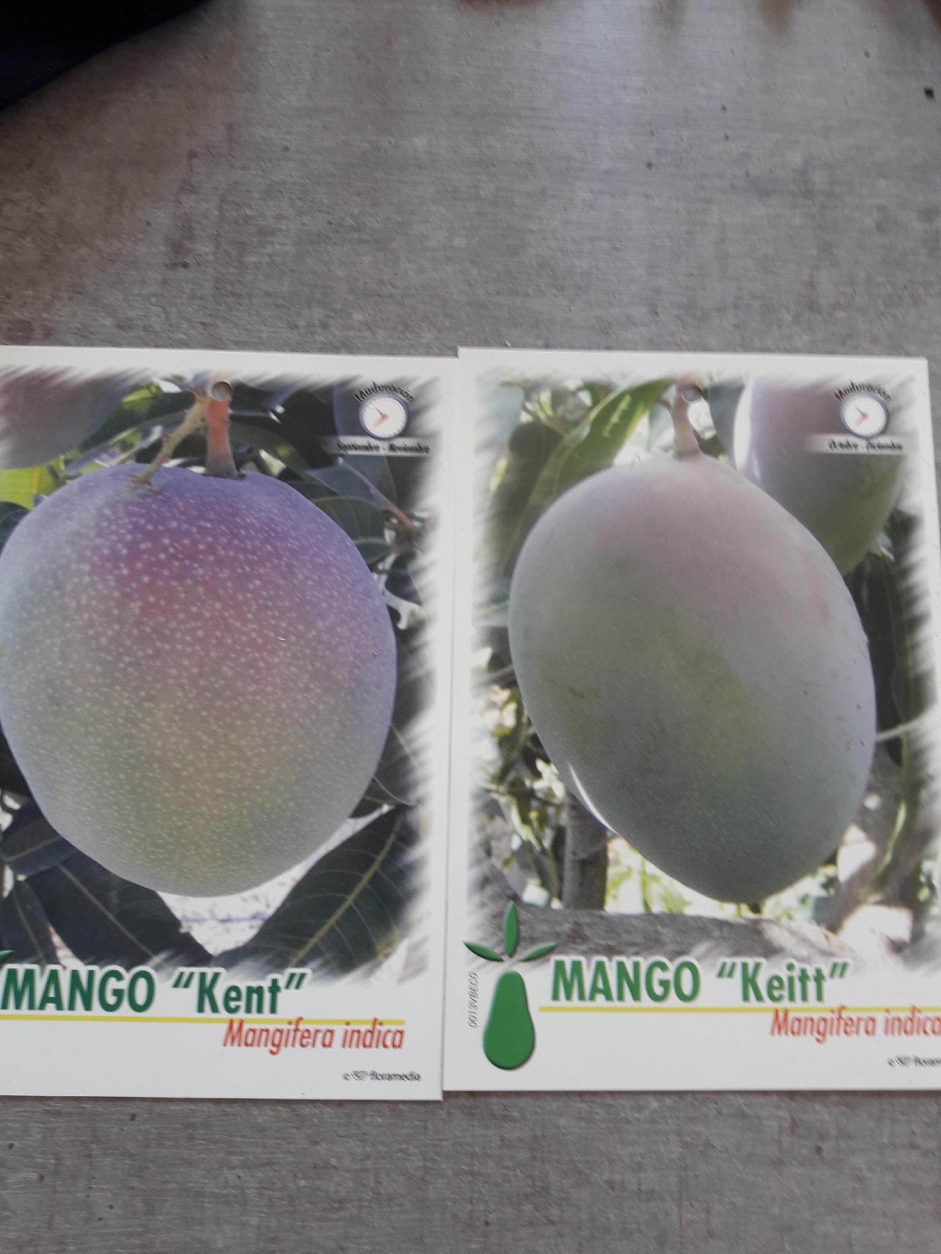 Come Piantare Il Mango mango kent - balestrate (palermo)