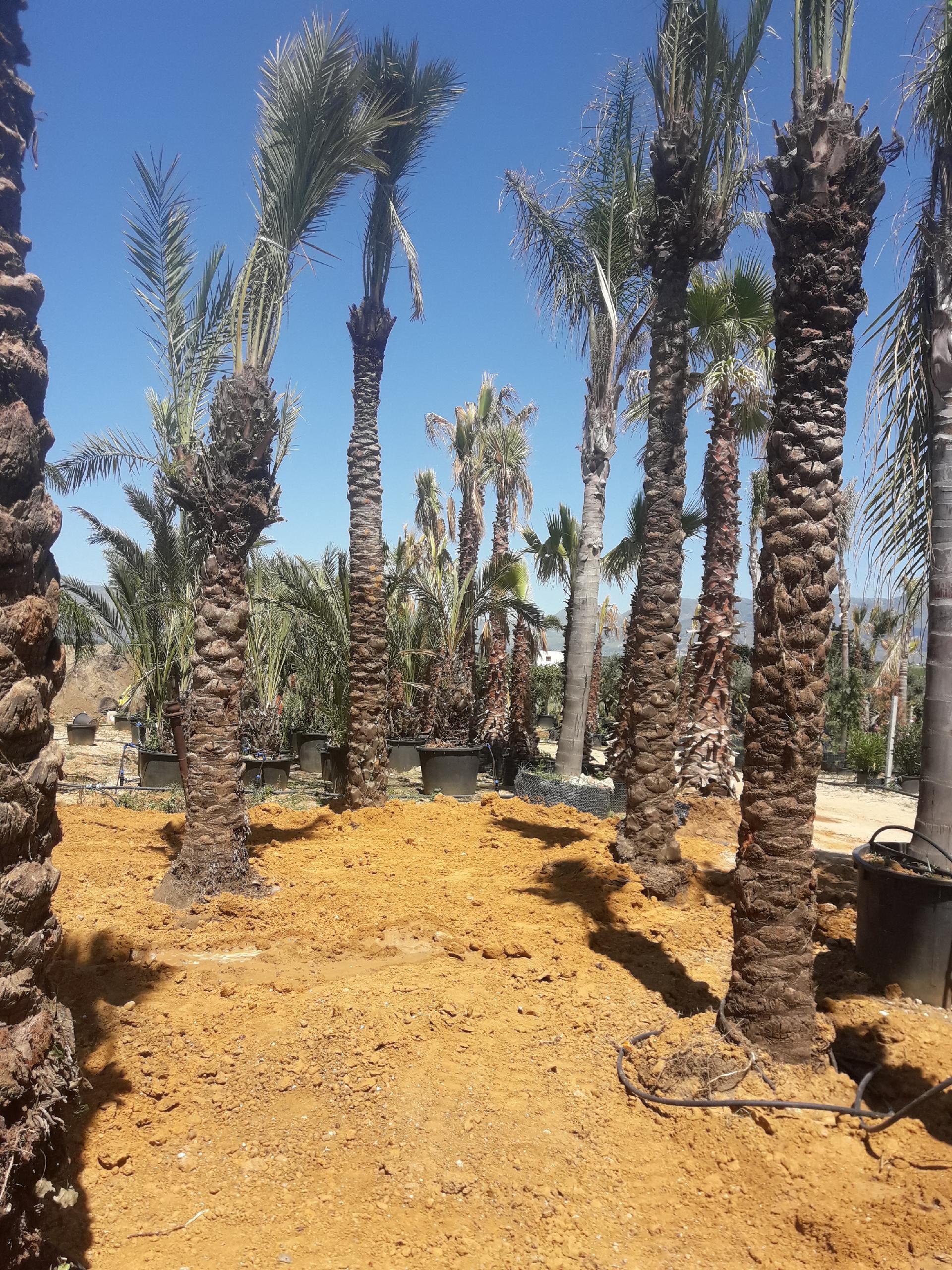 Palme Da Vaso Per Esterno palma dattilifera - balestrate (palermo)