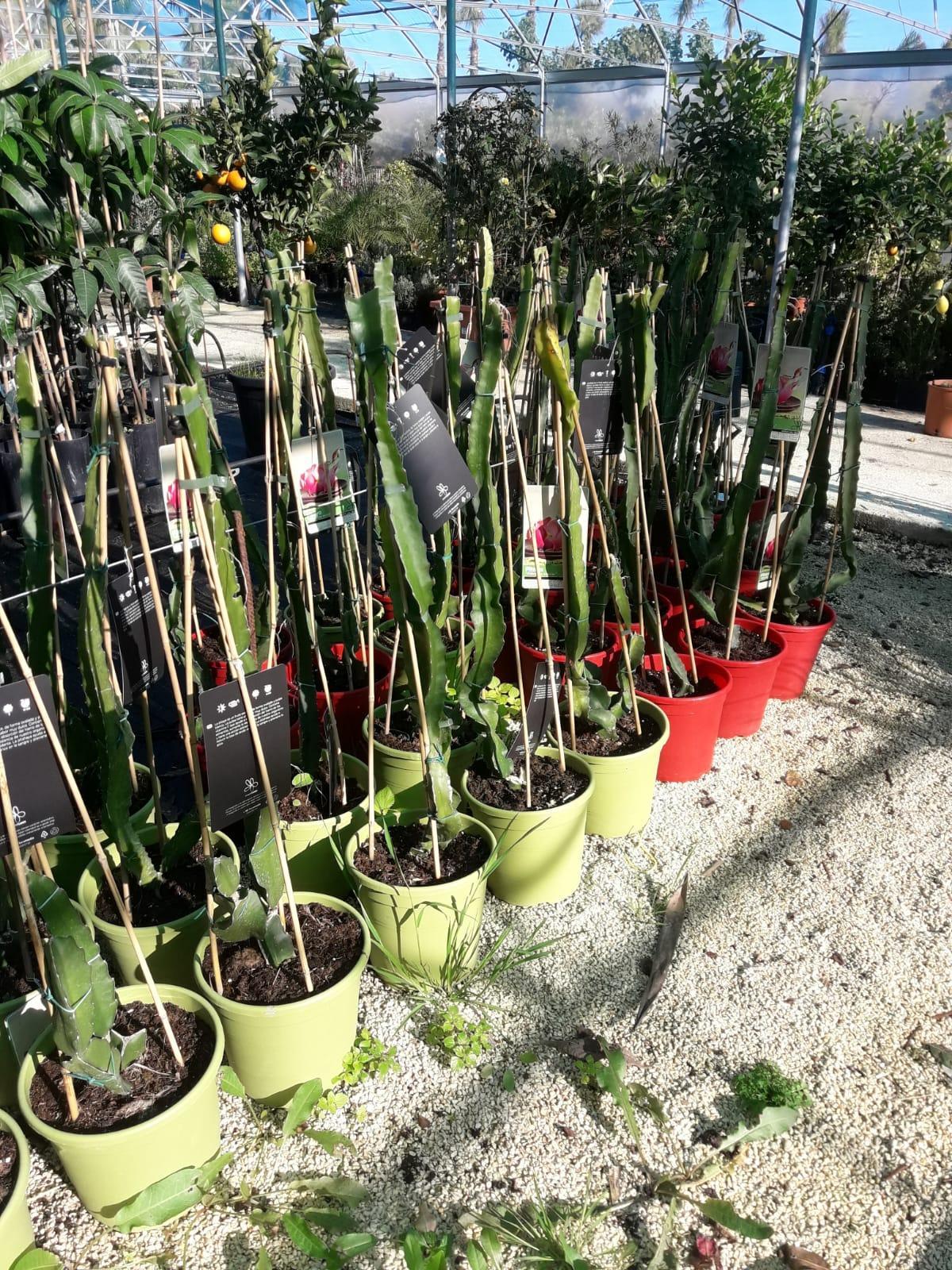 Piante Tropicali Da Interno pitaya rossa in vaso pitaya pianta tropicale rossa a polpa
