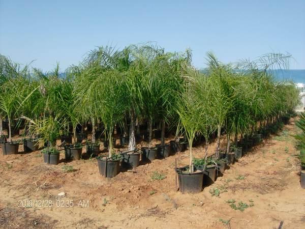 Cocus plumosa vaso balestrate palermo for Pianta palma