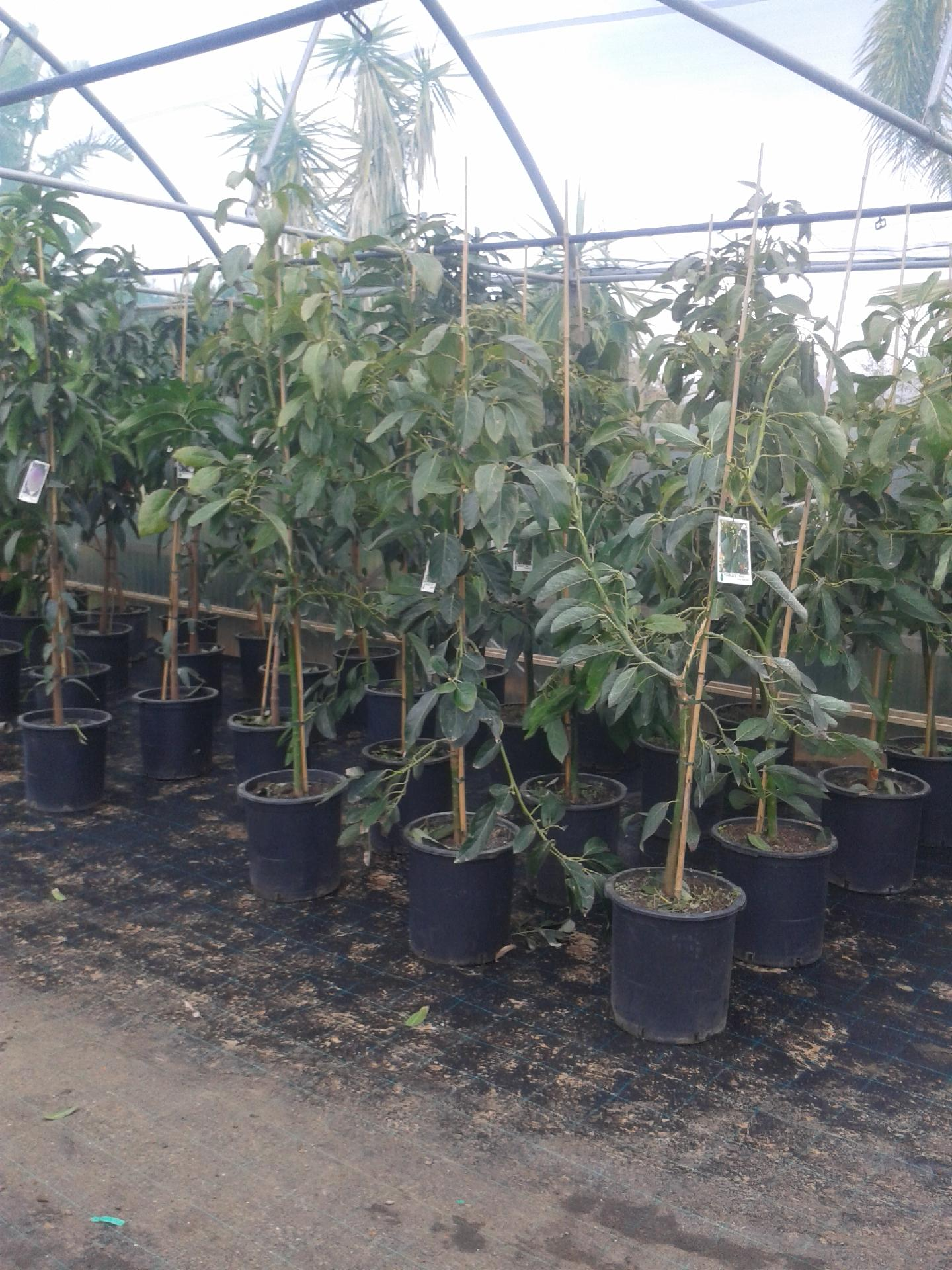 Mango piante in vaso mango innestato balestrate palermo for Piante vendita