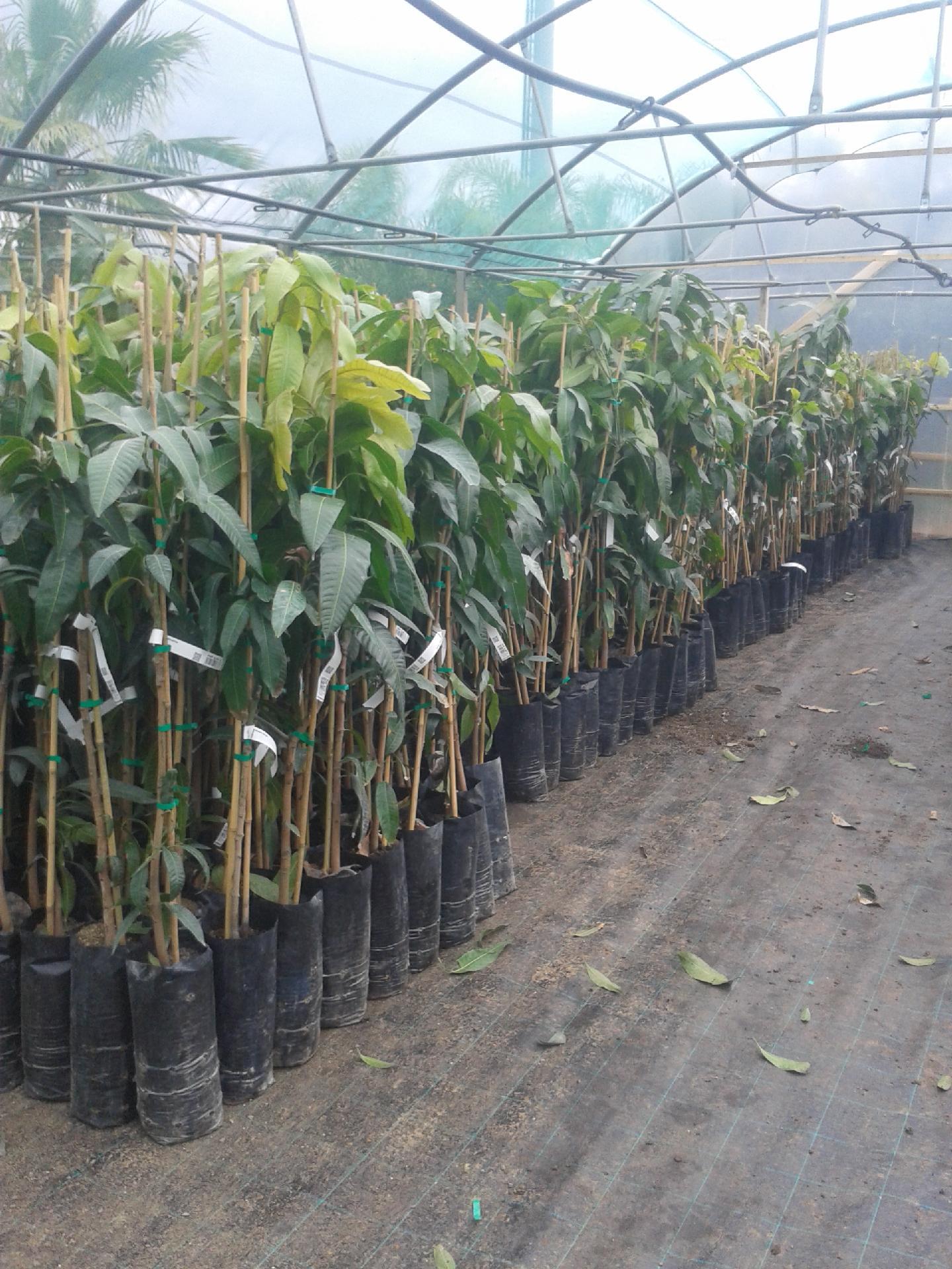 Mango piante in vaso mango innestato balestrate palermo for Potatura piante da frutto