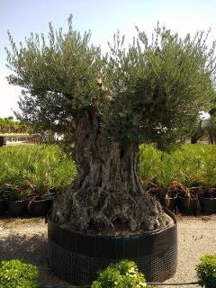 ULIVO BONSAI IN ZOLLA