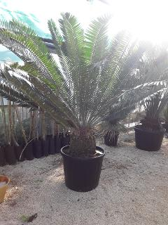 CYCAS ENCEPHALARTOS PTEROGONUS