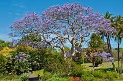 JACARANDA IN VASO  albero VASO 150 L