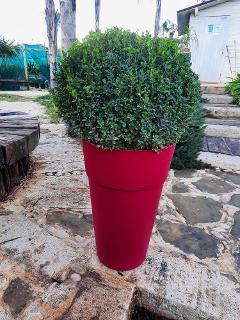 BOXUS A PALLA VOSO 28 CESPUGLIERIA BOXUS  FORMA PALLA