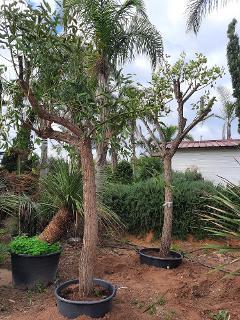 ERYTHRINA CRISTA GALLI albero VASO 200 L