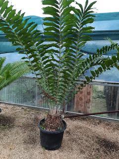Encephalartos ferox  ORNAMENTALE VASO 45\50