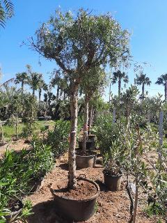 Falso pepe - Schinus molle albero VASO 160 L